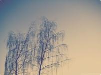 delicate trees